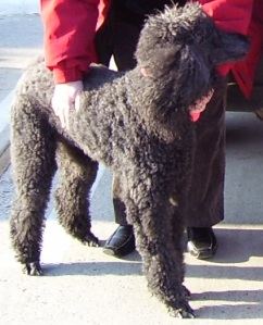 Cassie, our female Standard poodle.